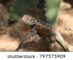 desert spiny lizard | Shutterstock . vector #797575909