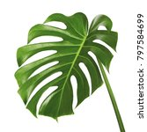 monstera deliciosa leaf or... | Shutterstock . vector #797584699
