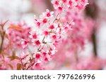 wild himalayan cherry blossoms... | Shutterstock . vector #797626996