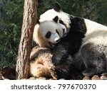Small photo of Two pandas are hugging and frolic together