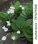 beautiful white flower of... | Shutterstock . vector #797679568