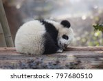 Stock photo a baby panda lies sleeping 797680510