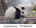 a baby panda lies sleeping | Shutterstock . vector #797680510