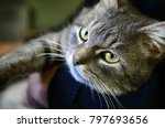 Stock photo a young gray cat lies on the hands of its owner the pet is resting 797693656