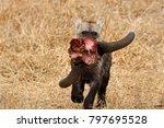 spotted hyena cub running off... | Shutterstock . vector #797695528