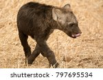 very young hyena cub licking... | Shutterstock . vector #797695534