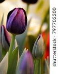 black tulip close up in spring... | Shutterstock . vector #797702200