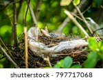 beaks of newly hatched black... | Shutterstock . vector #797717068
