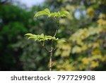 ceiba pentandra  l.  gaertn... | Shutterstock . vector #797729908
