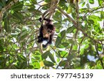 Baby Spider Monkey In A Tree...
