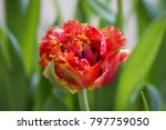close up fluffy red tulip in a... | Shutterstock . vector #797759050