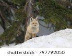 red fox  rare cascade...   Shutterstock . vector #797792050