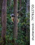 diademed sifaka   propithecus... | Shutterstock . vector #797812720