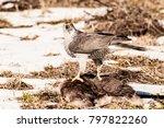 adult peregrine falcon  falco...   Shutterstock . vector #797822260