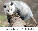 Possum On A Log Looking For...