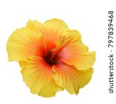 yellow hibiscus on white... | Shutterstock . vector #797839468