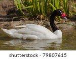 Black Necked Swan  Cygnus...