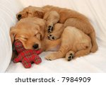 two golden retriever puppies asleep - stock photo