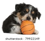 Stock photo border collie puppy playing with toy basketball weeks old in front of white background 79922149