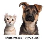Stock photo german shepherd puppy months old and a american curl kitten months old in front of white 79925605