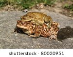 Two Frogs On A Stone