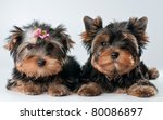 Puppies of yorkshire terrier - stock photo
