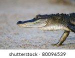 An American Alligator Walking...