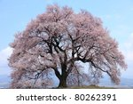 300 Years Old Cherry Blossom A...