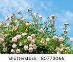 Stock photo roses against blue sky rose garden in the prague 80773066