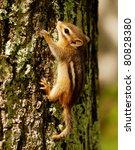 Stock photo tiny baby chipmunk climbing a tree 80828380