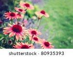 Echinacea Flowers In Garden  ...