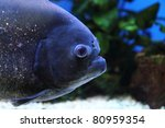 detail of piranha | Shutterstock . vector #80959354