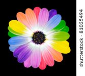 Rainbow Flower Multi Colored Petals of Daisy Flower Isolated on Black Background. Range of Happy Multi Colours. - stock photo