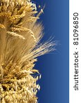 golden wheat close up against  blue background, ears of grain crops - stock photo