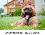 Leonberger Puppy Resting In Th...