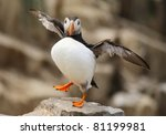 Puffin standing on one foot with wings outstretched - stock photo