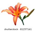 Pink Orange Lily With Buds