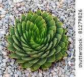 A Beautiful Spiral Aloe  Aloe...