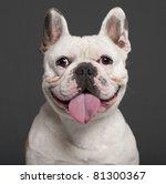 Close Up Of French Bulldog  3...