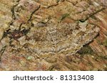 Small photo of Mottled Beauty Moth - Alcis repandata repandata Camouflaged on tre bark