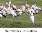 standing flock of yellow billed ... | Shutterstock . vector #81383866