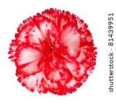 Red and White Gilly Flower Isolated on White Background. Isolated Carnation Flower - stock photo