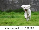 Stock photo white mini poodle dog hops joyfully on grassland 81442831