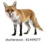 Red Fox  Vulpes Vulpes  4 Year...