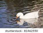 snow goose swimming in the lake.... | Shutterstock . vector #81462550