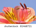 Small photo of Macro of stamen Peruvian lily flower (Alstroemeria aurantiaca) on blue sky background