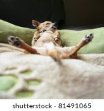 Stock photo cute chihuahua taking a nap 81491065