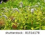 gooseneck   loosestrife  ... | Shutterstock . vector #81516178