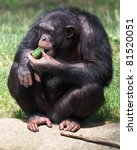 Chimpanzee Sitting Eating...