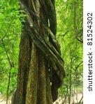 Vine Around Tree In Thailand...